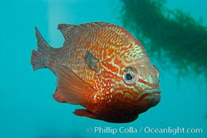 Longear sunfish, native to the watersheds of the Mississippi River and Great Lakes, Lepomis megalotis