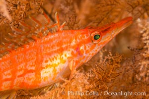 Longnose hawkfish on black coral, underwater, Sea of Cortez, Baja California