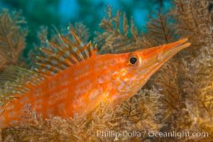 Longnose hawkfish on black coral, underwater, Sea of Cortez, Baja California. Baja California, Mexico, natural history stock photograph, photo id 33616