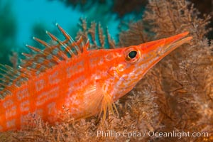 Longnose hawkfish on black coral, underwater, Sea of Cortez, Baja California