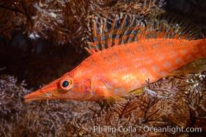 Longnose Hawkfish on Black Coral, Oxycirrhites typus, Isla San Diego, Baja California, Mexico