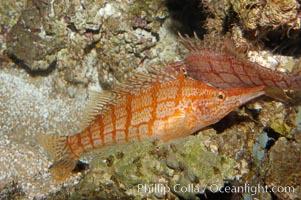 Longnose hawkfish, Oxycirrhites typus