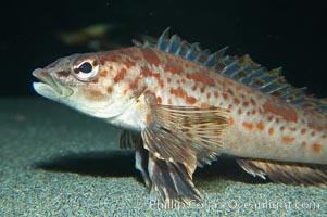 Longspine combfish, Zaniolepis latipinnis