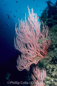 Red gorgonian, Lophogorgia chilensis, San Clemente Island