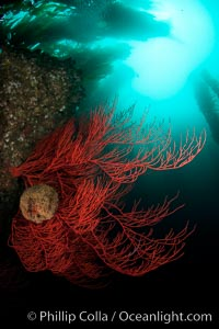 Bryozoan grows on a red gorgonian on rocky reef, below kelp forest, underwater. The red gorgonian is a filter-feeding temperate colonial species that lives on the rocky bottom at depths between 50 to 200 feet deep. Gorgonians are oriented at right angles to prevailing water currents to capture plankton drifting by. San Clemente Island, California, USA