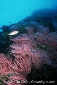 Red gorgonians, Lophogorgia chilensis, San Clemente Island