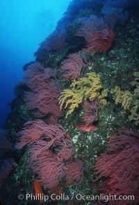Red gorgonians, Lophogorgia chilensis, San Clemente Island