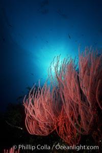 Red gorgonian, Lophogorgia chilensis, San Clemente Island