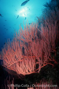 Red gorgonian, polyp detail, Lophogorgia chilensis, San Clemente Island