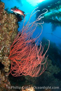 Red gorgonian on rocky reef, below kelp forest, underwater.  The red gorgonian is a filter-feeding temperate colonial species that lives on the rocky bottom at depths between 50 to 200 feet deep. Gorgonians are oriented at right angles to prevailing water currents to capture plankton drifting by. San Clemente Island, California, USA, Lophogorgia chilensis, natural history stock photograph, photo id 23425