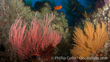 Red gorgonian (left) and California golden gorgonian (right) on rocky reef, below kelp forest, underwater.  Gorgonians are filter-feeding temperate colonial species that live on the rocky bottom at depths between 50 to 200 feet deep.  Each individual polyp is a distinct animal, together they secrete calcium that forms the structure of the colony. Gorgonians are oriented at right angles to prevailing water currents to capture plankton drifting by, Lophogorgia chilensis, San Clemente Island