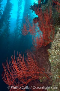 Red gorgonian on rocky reef, below kelp forest, underwater.  The red gorgonian is a filter-feeding temperate colonial species that lives on the rocky bottom at depths between 50 to 200 feet deep. Gorgonians are oriented at right angles to prevailing water currents to capture plankton drifting by, Lophogorgia chilensis, Macrocystis pyrifera, San Clemente Island