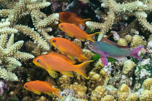 Lyretail anthias fishes schooling over coral reef, females are orange, male are purple, polarized as they swim into ocean currents, Fiji, Pseudanthias, Makogai Island, Lomaiviti Archipelago