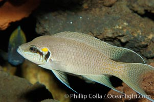Lyretail cichlid., Neolamprologus brichardi, natural history stock photograph, photo id 09259