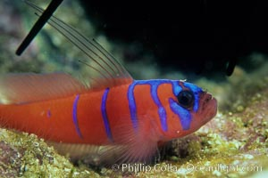 Bluebanded goby, Catalina, Lythrypnus dalli, Catalina Island, copyright Phillip Colla Natural History Photography, www.oceanlight.com, image #07062, all rights reserved worldwide.