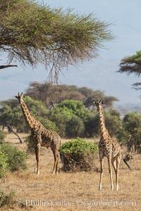 Maasai Giraffe, Amboseli National Park. Amboseli National Park, Kenya, Giraffa camelopardalis tippelskirchi, natural history stock photograph, photo id 29515