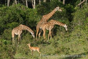 Maasai Giraffe, Maasai Mara National Reserve. Maasai Mara National Reserve, Kenya, Giraffa camelopardalis tippelskirchi, natural history stock photograph, photo id 29960