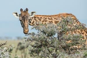 Maasai Giraffe, Meru National Park, Giraffa camelopardalis tippelskirchi, Olare Orok Conservancy