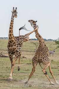 Maasai Giraffe, two males in courtship combat, jousting, Olare Orok Conservancy, Giraffa camelopardalis tippelskirchi