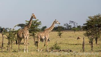 Maasai Giraffe, Olare Orok Conservancy, Kenya, Giraffa camelopardalis tippelskirchi