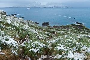 Snow covers tussock grass and macaroni penguins, above Cooper Bay, Eudyptes chrysolophus
