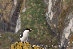 "Macaroni penguin, on the rocky shoreline of Hercules Bay, South Georgia Island.  One of the crested penguin species, the macaroni penguin bears a distinctive yellow crest on its head.  They grow to be about 12 lb and 28"" high.  Macaroni penguins eat primarily krill and other crustaceans, small fishes and cephalopods. Hercules Bay, South Georgia Island, Eudyptes chrysolophus, natural history stock photograph, photo id 24424"