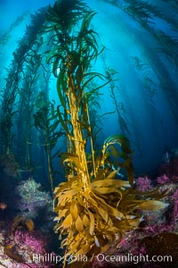 Kelp holdfast attaches the plant to the rocky reef on the oceans bottom. Kelp blades are visible above the holdfast, swaying in the current, Catalina Island, California