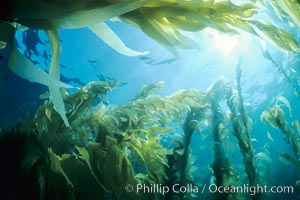 A kelp forest, with sunbeams passing through kelp fronds.  Giant kelp, the fastest growing plant on Earth, reaches from the rocky bottom to the ocean's surface like a terrestrial forest, Macrocystis pyrifera, San Clemente Island