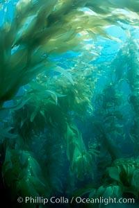 Kelp forest, Macrocystis pyrifera, San Clemente Island