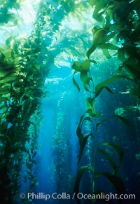 Kelp bed, Macrocystis pyrifera, San Clemente Island