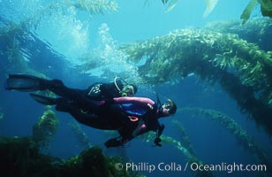 Divers and kelp forest., Macrocystis pyrifera,  Copyright Phillip Colla, image #02988, all rights reserved worldwide.