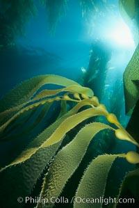 Kelp detail showing pneumatocysts (air bladders), Macrocystis pyrifera, San Clemente Island