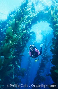 Diver amid kelp forest, Macrocystis pyrifera, San Clemente Island