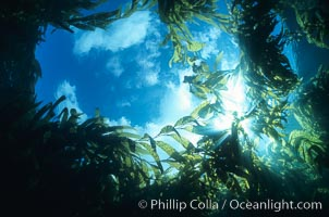 Blue sky and clouds viewed from underwater within a kelp forest, looking straight up through an opening in the kelp, Macrocystis pyrifera, San Clemente Island