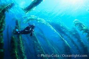 Diver amidst kelp forest, Macrocystis pyrifera, San Clemente Island