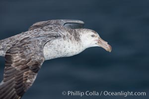 Northern giant petrel in flight.  The distinctive tube nose (naricorn), characteristic of species in the Procellariidae family (tube-snouts), is easily seen, Macronectes halli