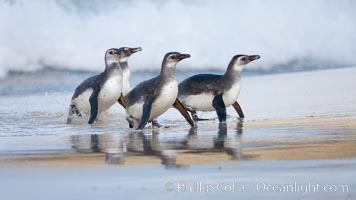 Magellanic penguins, coming ashore on a sandy beach.  Magellanic penguins can grow to 30&#34; tall, 14 lbs and live over 25 years.  They feed in the water, preying on cuttlefish, sardines, squid, krill, and other crustaceans, Spheniscus magellanicus, New Island