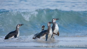 "Magellanic penguins, coming ashore on a sandy beach.  Magellanic penguins can grow to 30"" tall, 14 lbs and live over 25 years.  They feed in the water, preying on cuttlefish, sardines, squid, krill, and other crustaceans, Spheniscus magellanicus, New Island"