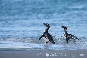 """Magellanic penguins, coming ashore on a sandy beach.  Magellanic penguins can grow to 30"""" tall, 14 lbs and live over 25 years.  They feed in the water, preying on cuttlefish, sardines, squid, krill, and other crustaceans, Spheniscus magellanicus, New Island"""
