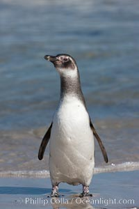Magellanic penguin, juvenile, coming ashore on a sand beach after foraging at sea, Spheniscus magellanicus, Carcass Island