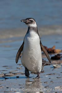 Magellanic penguin, coming ashore after foraging in the ocean for food, Spheniscus magellanicus, Carcass Island