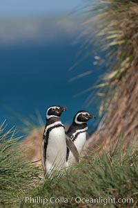 Magellanic penguins walk through tussock grass, on their way to their burrows after foraging at sea all day, Spheniscus magellanicus, Carcass Island