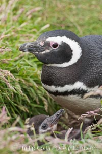 "Magellanic penguin, adult and chick, in grasslands at the opening of their underground burrow.  Magellanic penguins can grow to 30"" tall, 14 lbs and live over 25 years.  They feed in the water, preying on cuttlefish, sardines, squid, krill, and other crustaceans, Spheniscus magellanicus, New Island"