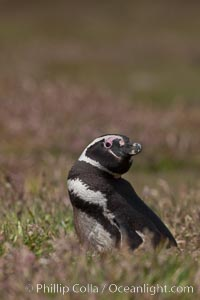 "Magellanic penguin, in grasslands at the opening of their underground burrow.  Magellanic penguins can grow to 30"" tall, 14 lbs and live over 25 years.  They feed in the water, preying on cuttlefish, sardines, squid, krill, and other crustaceans, Spheniscus magellanicus, New Island"