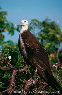 Magnificent frigatebird (note blue eye ring), juvenile, Fregata magnificens, North Seymour Island