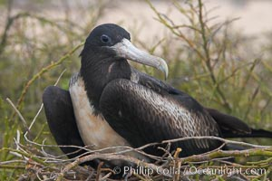 Magnificent frigatebird, adult female on nest, Fregata magnificens, North Seymour Island