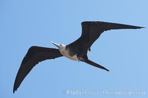 Magnificent frigatebird, juvenile, in flight.  North Seymour Island, Fregata magnificens