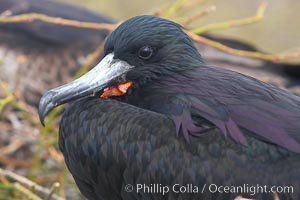 Magnificent frigatebird, adult male showing purple iridescense on scapular feathers, Fregata magnificens, North Seymour Island