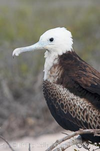 Magnificent frigatebird, juvenile on nest, blue eye ring identifies species, Fregata magnificens, North Seymour Island