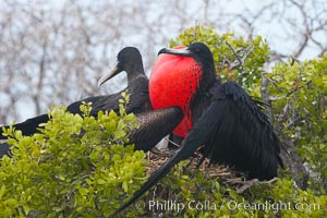 Magnificent frigatebird, adult male (right) and adult female (left), on nest, male with raised wings and throat pouch inflated in a courtship display to attract females, Fregata magnificens, North Seymour Island